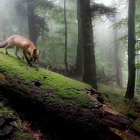 Il mondo sonoro delle volpi di StefanoGuglielmin