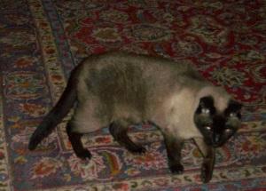 Koko, gatto siamese dell'autore. Foto di Teresa Caligiure