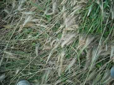 spighe e erba